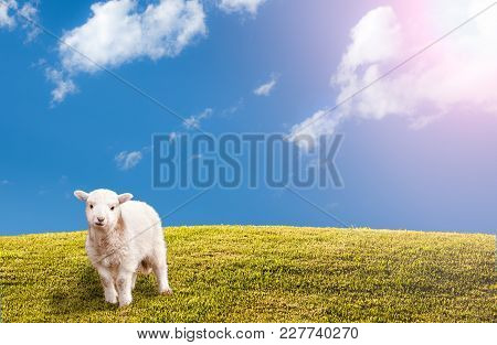 Bright Green Sunlit Grass Hill With Cute Easter Lamb With Blue Sky And Clouds With Sun Flare