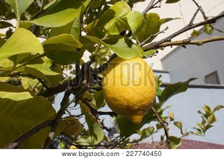 Ripe Yellow Lemon On A Branch With Green Leaves In A Italian Garden Near The House.