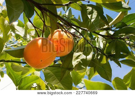 Brightly Sweet Fresh Oranges Growing On A Tree Branch With Green And Yellow Leaves Against The Blue