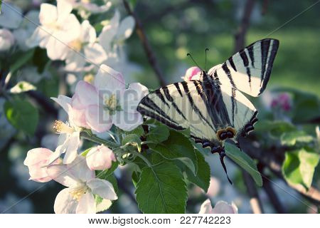Butterfly Drinking Nectar On White Flowers. Close Up Butterfly And Apple Tree Flowers. Close Up Of B