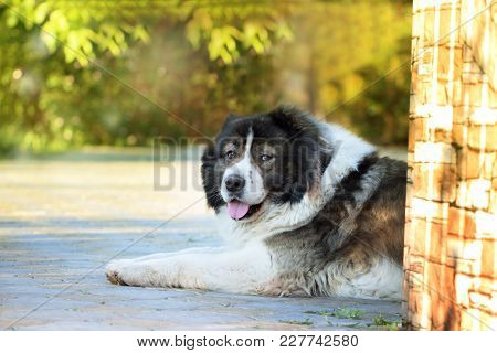 Adult Caucasian Shepherd Dog. Fluffy Caucasian Shepherd Dog Is Lying On The Ground. Adult Caucasian