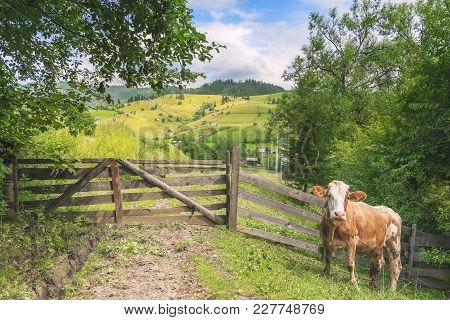 Cow At A Rustic Gate In Summer Nature - Cute Cow Waiting In Front Of An Aged Wooden Gate And Fence,