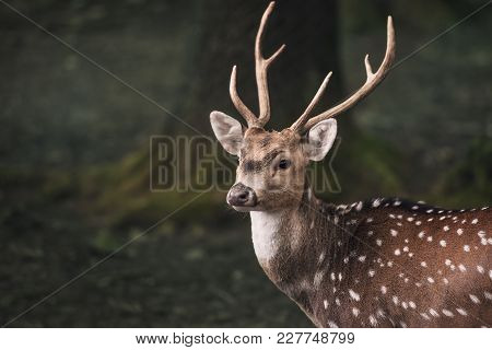 Cute Fallow Buck Deer Portrait - Portrait Of A Young Male From The Fallow Deer, With Long Horns And