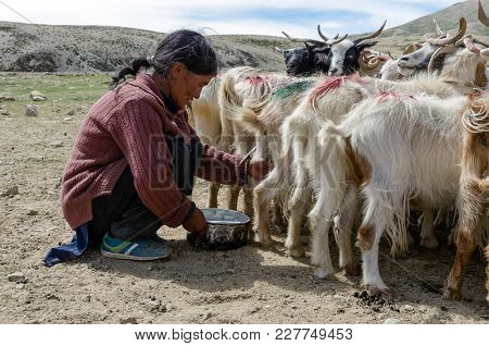 Tsomoriri Lake, India - August 11, 2017: Unidentified Nomadic Woman With Their Sheep At Tsomoriri La