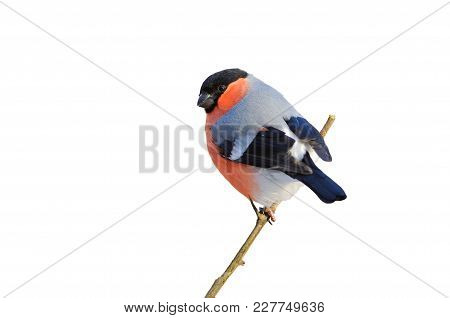 Eurasian (common) Bullfinch (pyrrhula Pyrrhula) Sitting On A Branch (isolated On A White Background)