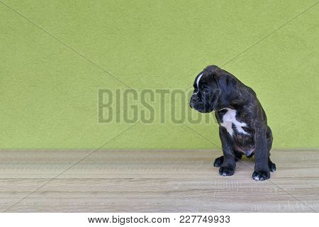 Small Black With White Spots On Nose Bridge And Neck Boxer Puppy Looks On The Left Side On Green Bac