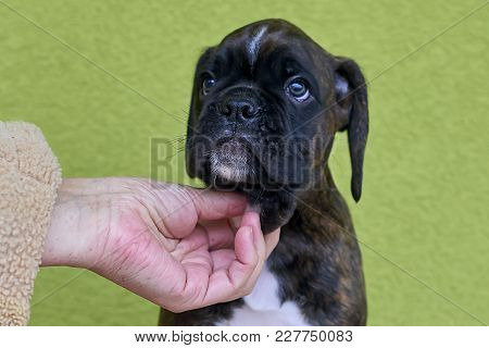 Human Hand Touches Black With White Spots Boxer Puppy On Green Background