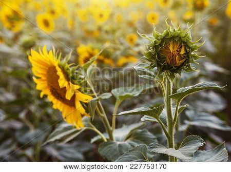 Sunflower Bud In The Field On A Summer Sunny Day
