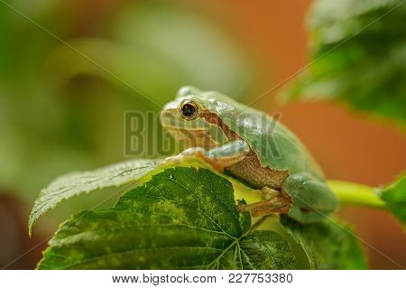 European Tree Frog On Stem Of Raspberry. Green Frog From Closeup View.
