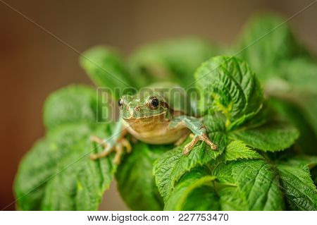 European Tree Frog Between Green Leaves. Cute Small Frog