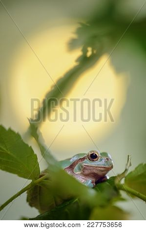 Green Frog Between Stem And Leaves With Sun In Background. European Tree Frog. Traditional Way To We