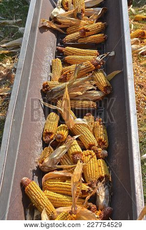 Ears Of Picked Corn Move Up A Chain Elevator To Be Stored In A Granary.