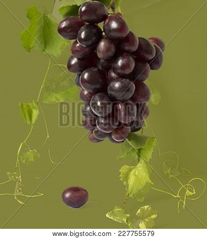 Healthy Fruits Red And White Wine Grapes In The Vineyard Dark Grapes/ Blue Grapes/wine Grapes Bunch