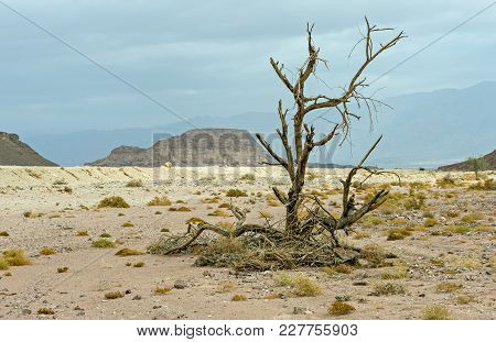 Lonely Snag In Stone Desert Of The Negev, Israel
