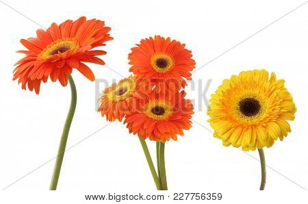 Gerbera flower isolated on white. Collection.