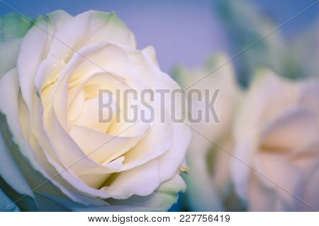 Beautiful White Rose Flower Head. The Best Gift For A Dearly Loved One. Close Up Of A White Rose. So
