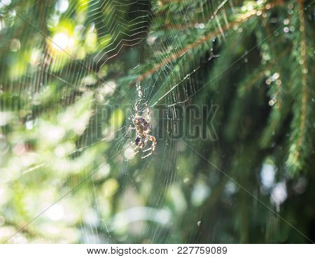 Spider on a spider web with a  background.