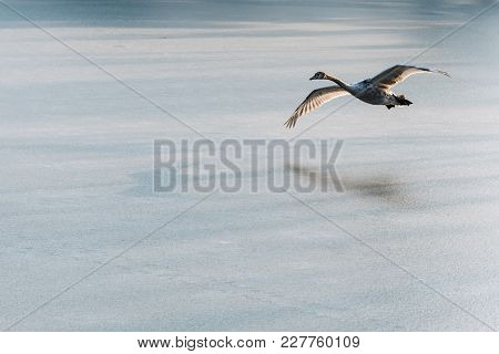 A Young Grey Mute Swan Flying Around Over A Frozen Lake. Also Known As Cygnus Olor.