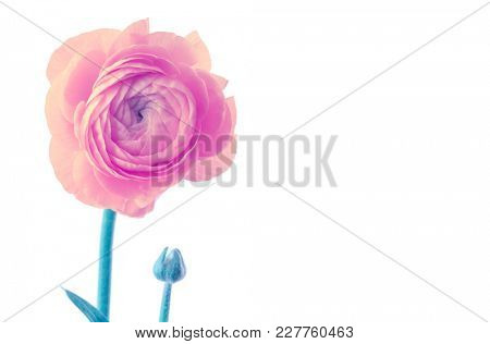 Pink anemone flower isolated on white.