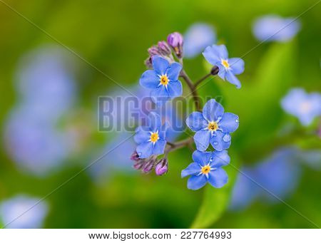 Delicate forget me not flowers.