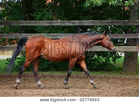 Trakehner sorrel horse walks in stud