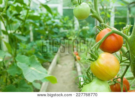 Fresh Red And Green Tomatoes. Tomato Growing In Film Greenhouses.