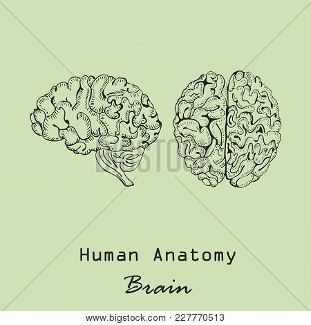 Handdrawn Human Brain In  Front And Side Views On The Color Background With The Inscription. Human A