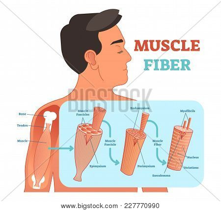 Muscle Fiber Anatomical Vector Illustration, Medical Education Information With Fascicle And Fiber.