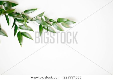 Ruscus Leaves Isolated