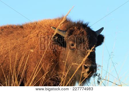 An American Bison Lifts His Head To Look Around The Tallgrass Prairie Preserve Located In Pawkuska,