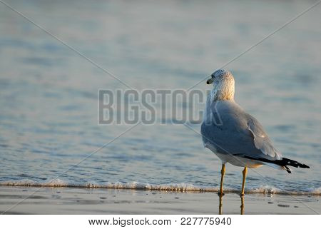 A Seagull Stands On The Shore As The Sea Washes Up Over Its Feet.