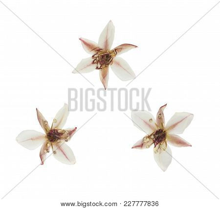 Pressed And Dried Butomus Umbellatus, Isolated On White Background. For Use In Scrapbooking, Pressed