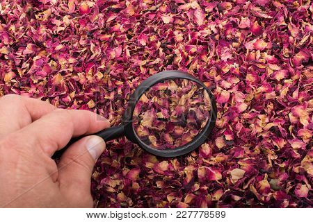 Magnifying Glass In Hand Over  Dried  Rose Petals