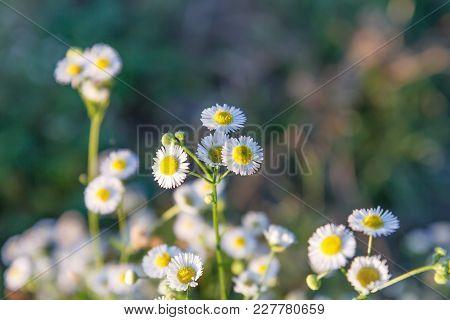 White Flowers Beautiful Sunlight Sun Shines In The Evening
