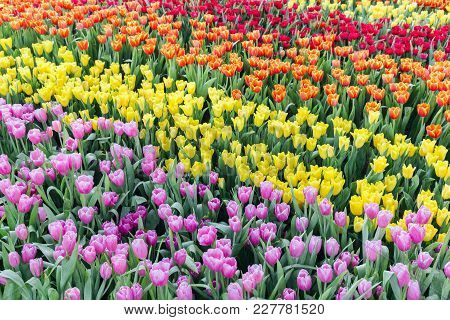 Tulip Flower. Beautiful Tulips In Tulip Field With Green Leaf Background At Winter Or Spring Day. Br