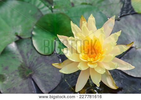 Lotus Flower Or Water Lily Flower Blooming With Lotus Leaves Background In The Pond At Sunny Summer