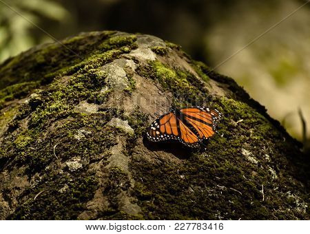 Beautiful And Small Monarch Butterfly In The Rock Whith Moss