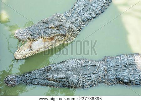 Closeup Crocodile In Alligator Pond Textured Background