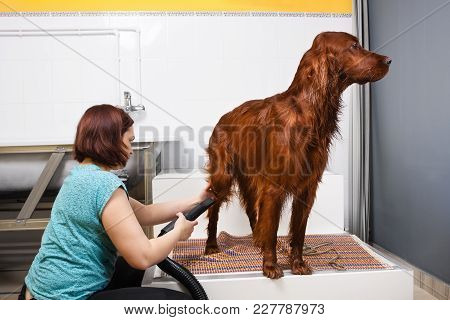Groomer Drying Fur Of Dog Setter With Hair Dryer At Salon