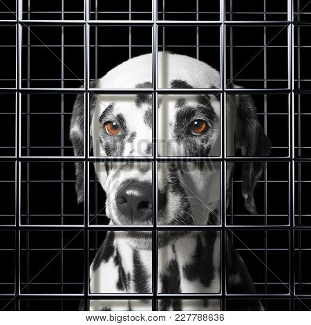 Cute Dalmatian Dog Is Punishe In Cage Of Prison