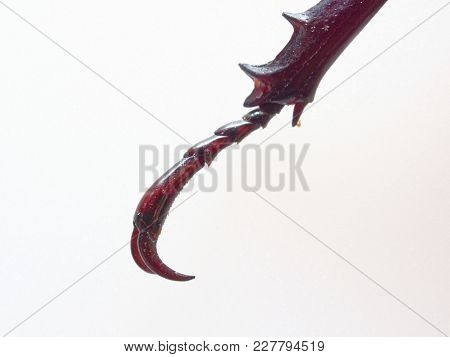 Leg Of Fighting Or Rhinoceros Beetle Isolated On White Background Which Male Beetles Are Used For Ga