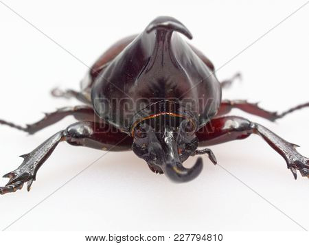 Fighting Or Rhinoceros Beetle Shot Front View In Close Up Isolated On White Background Which Male Be