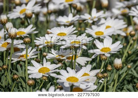 Field Of Blooming White Daisies With Dew On Petals Close-up