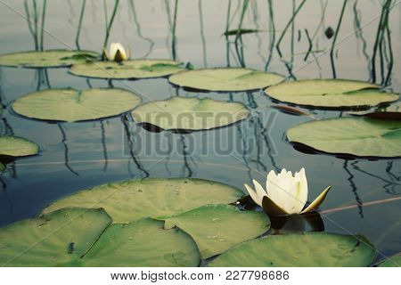 White Water Lilies And Green Lily Pads In The Lake. Nympaea Tetragona Georgi. Toned Photo. Iucn, Red