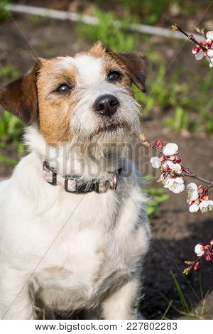 A Cute Jack Russell Terrier With Pointed Ears Sits With A Loose Branch Of Apricot In The English For
