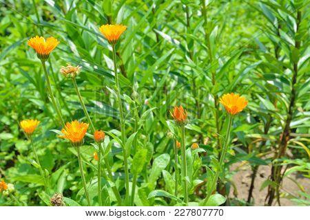 A Close Up Of The Blooming Medicinal Herb Marigold (calendula Officinalis).
