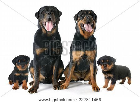Portrait Of Family  Purebred Rottweiler In Front Of White Background