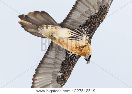Portrait Natural Adult Bearded Vulture Bird In Flight (gypaetus Barbatus), Spread Wings