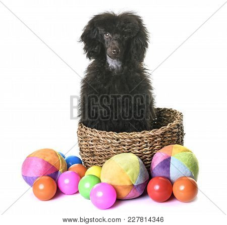 Puppy Brown Poodle In Front Of White Background