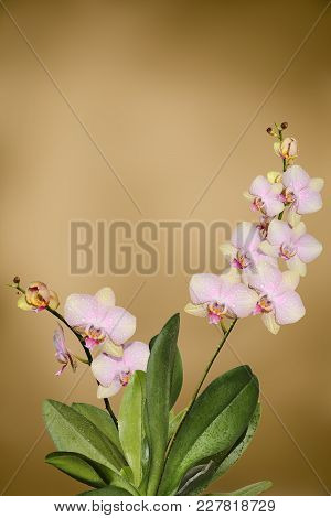 Sprigs Of Beautiful Bright Pink Blooming Orchids In A Wooden Box On A Blurred Background Of An Old G